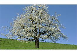 Chant en bois veritable cerisier