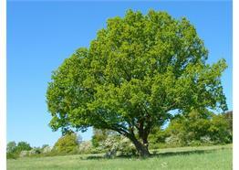 Chant en bois veritable Chêne